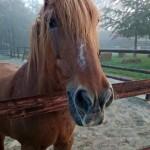 paard Marenko