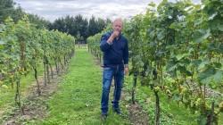 Edwin-Kleijn-van-de-Catharinahoeve-in-Waterlandkerkje-proeft-een-van-zijn-druiven-foto-Omroep-Zeeland